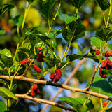 Red Mulberry Bush