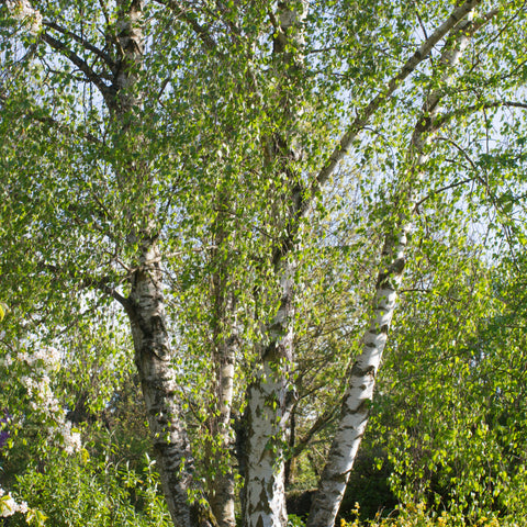Sweet Birch Tree