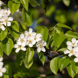 Wild Pear Tree (Spring Only)