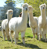 Z Land New Zealand Alpaca Duvets