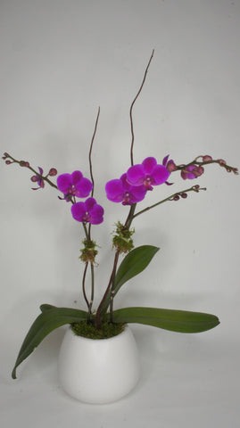 Blooming Orchid in Ceramic Pot