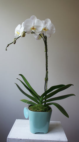 Phalaenopsis Orchid in Lonnie Aqua Pot