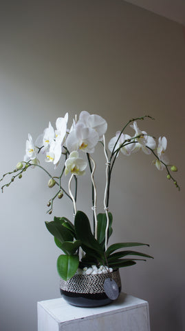 Deluxe White Phalaenopsis Orchids