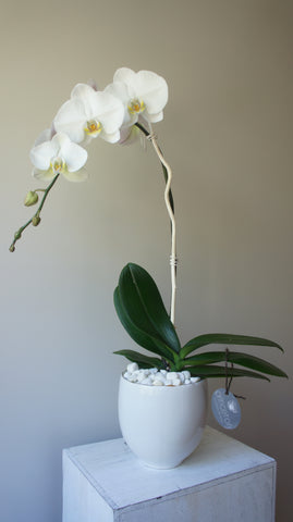 Evelyn White Phalaenopsis Orchid