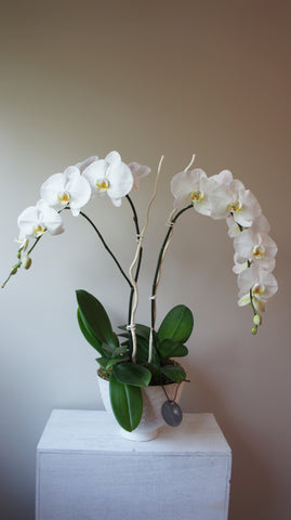 Pierre White Phalaenopsis Orchid