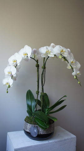 Optimist White Phalaenopsis Orchids