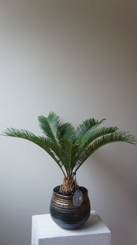 Honey Sago Palm Tree