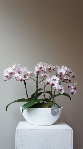 Deluxe Little Gem Orchids Arrangement