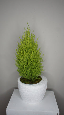Lemon Cypress Tree in Pot