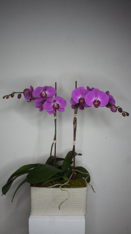 Double Pink Phalaenopsis Orchids