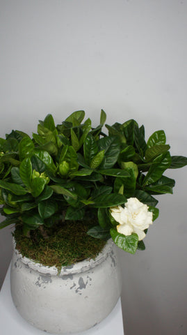 Gardenia Plant in Terracotta pot