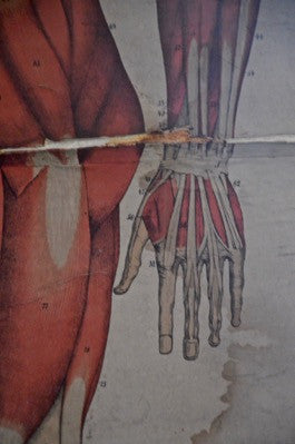 Antique vintage human anatomy muscular canvas chart