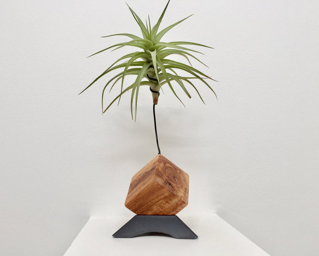 Plant Holder with Living Air Plant