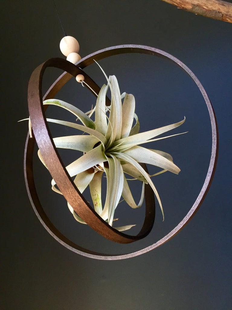 Hanging Rustic Air Plant Holder with Large Xerographica
