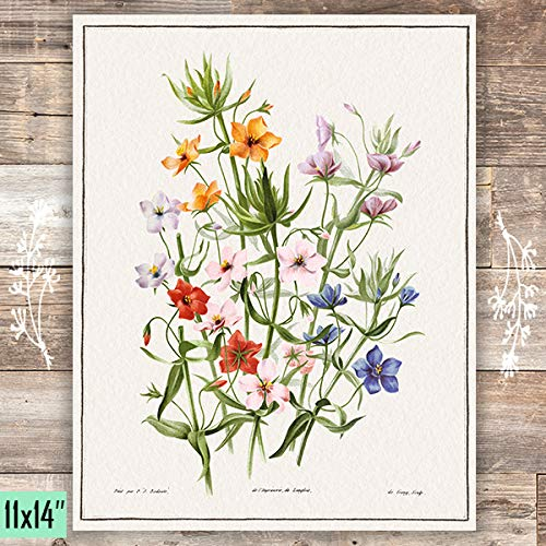 Varieties Of Anagallis Grandiflora Art Print - Unframed - 11x14 - Dream Big Printables