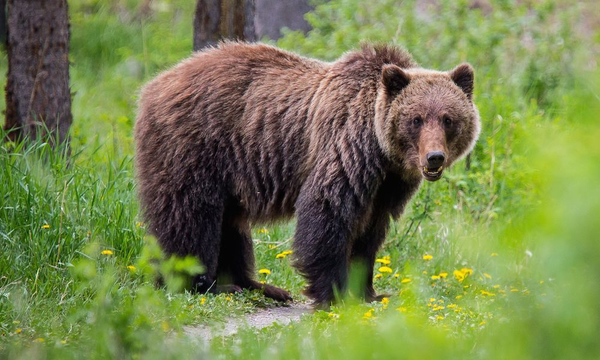 https://ftw.usatoday.com/2018/09/bears-are-daily-threat-for-firefighters-in-glacier-national-park