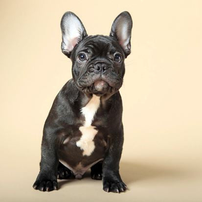 Is a Frenchie Right for You...