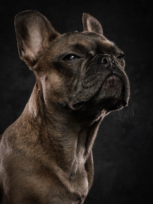 Frenchie Snob Face...