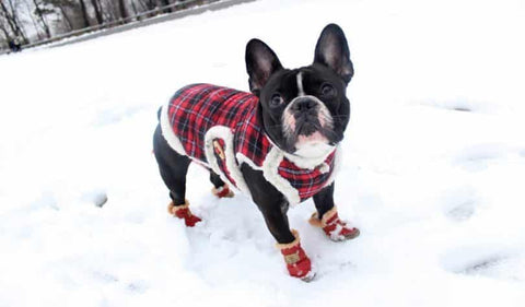 cute pug with snow boots