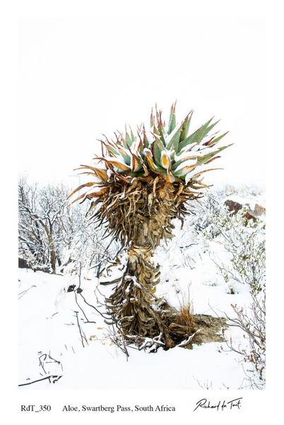 ARTWORK C1 - RICHARD DU TOIT ALOE IN SNOW