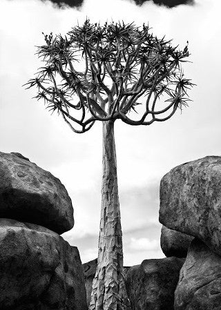 UNIQUE ART STRETCHED CANVAS - TREE & ROCKS (Por...