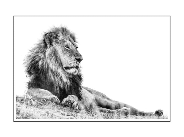 ARTWORK WILD AFRICA W098 - LION LOUNGING