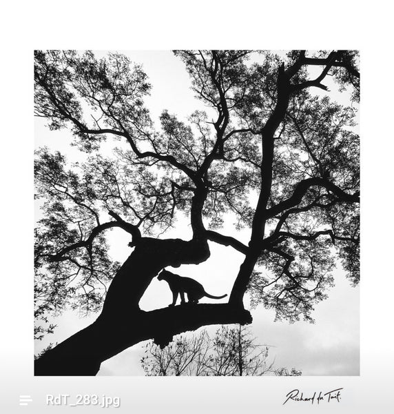 ARTWORK WILD AFRICA - LEOPARD IN TREE (Square)