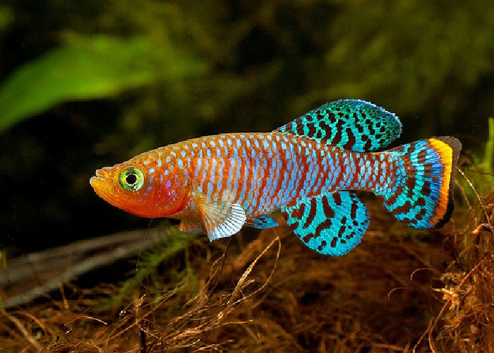 "Bluefin Notho Killifish ""Nothobranchius rachovi """