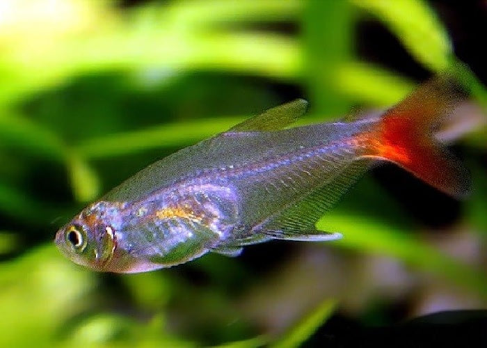 "Glass Bloodfin Tetra ""Prionobrama filigera"""