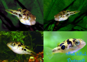 "Indian Dwarf Puffer ""Tetraodon travancoricus"""