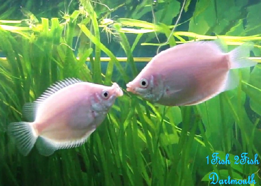 "Pink Kissing Gourami ""Helostoma temmincki"""