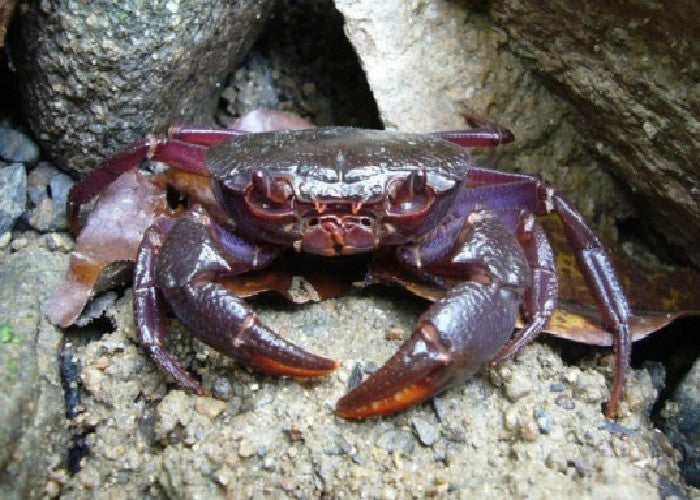"Purple Claw Porcelain Crab""Petrolisthes sp."""