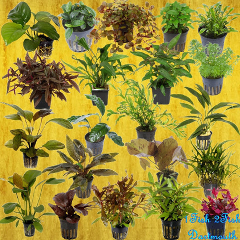 Shipped - Tropica Pots - Orders of 5 Plants