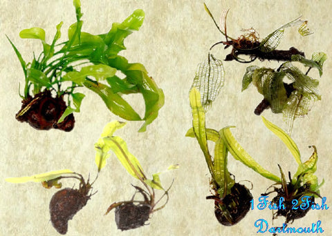 Shipped - Tropica Bulbs - Orders of 5 Plants