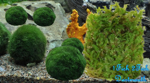 Shipped - Tropica Moss Ball - Orders of 5 Plants