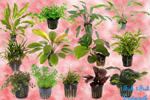 Shipped - Tropica Single Package - Canada Wide - Orders of 3 Plants