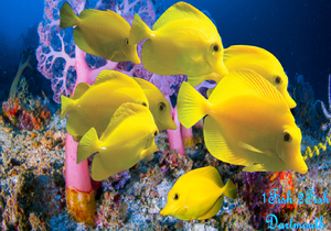 "Yellow Tang ""Zebrasoma flavescens"""