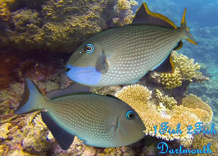 "Blue Throat Triggerfish ""Xanthichthys auromarginatus"""