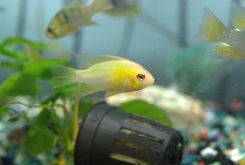 German Gold Ram
