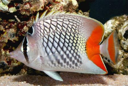 "Red Checkered Pearlscale Butterflyfish ""Chaetodon xanthurus"""