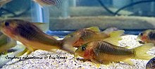 Green-Gold Corydoras