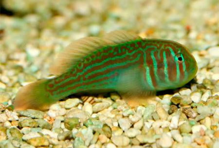 "Green Clown Goby ""Gobiodon histrio"""