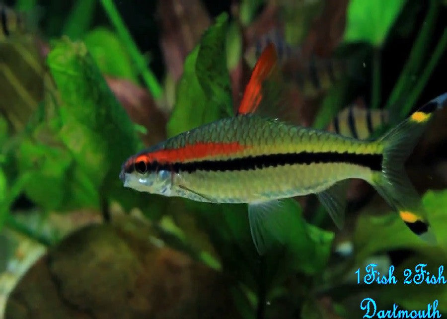 "Denison Barb ""Sahyadria denisonii"""