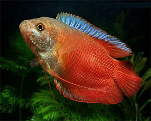 "Neon Royal Red Gourami ""Colisa Lalia"""