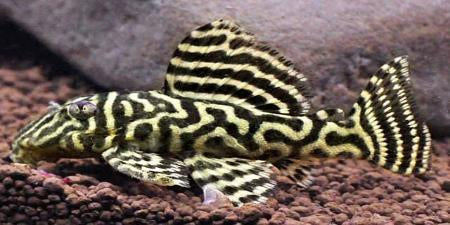 L340 Mega Clown Pleco