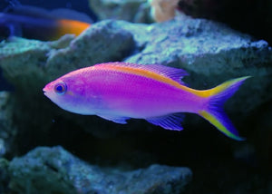 "Purple Queen Anthias ""Pseudanthias tuka"""