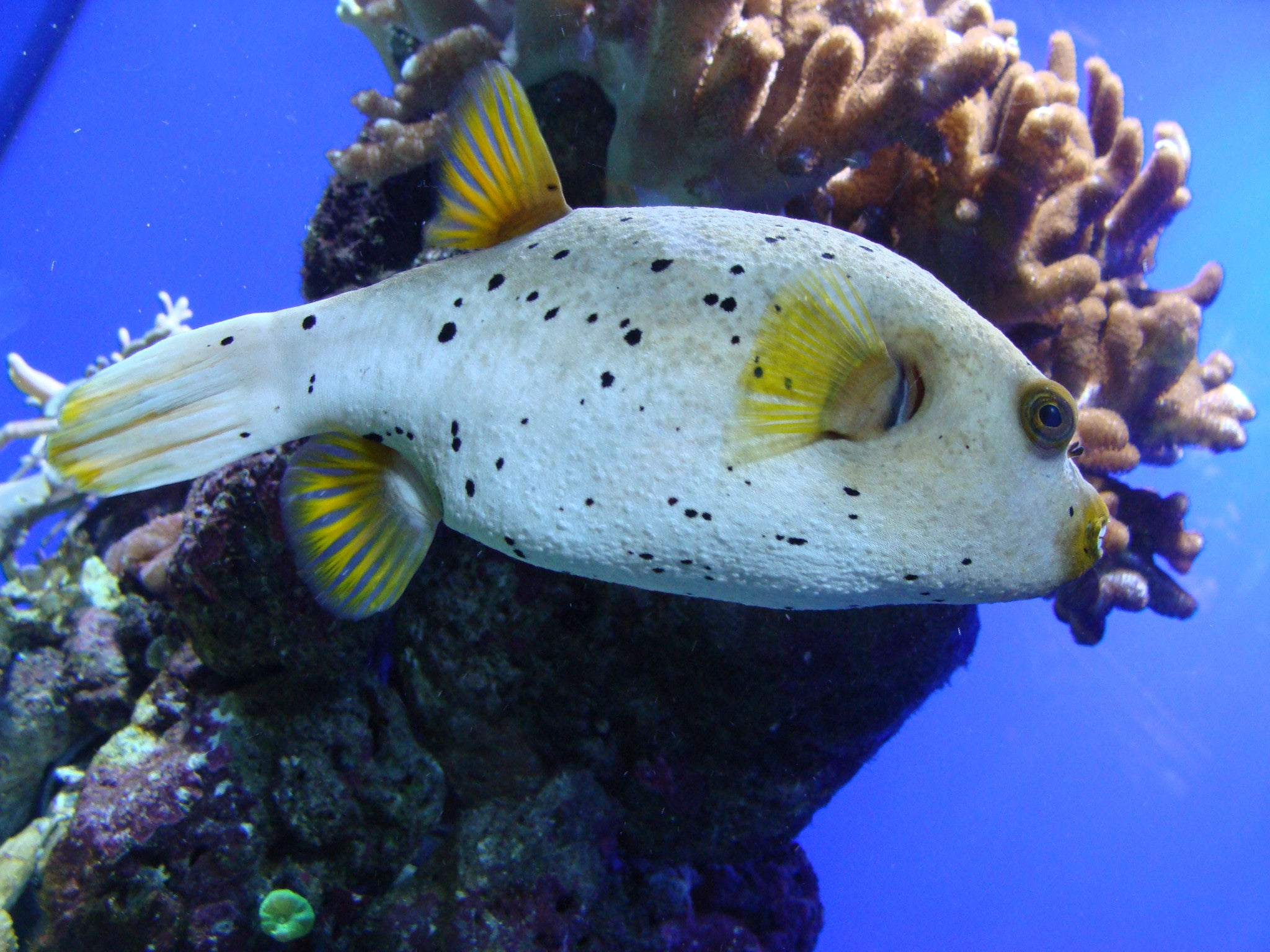 "Blackspotted Dog Face Puffer ""Arothron nigropunctatus"""