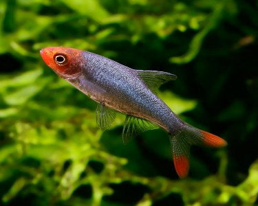 "Asian Rummy Nose Rasbora ""Sawbwa resplendens"""