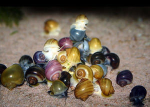 "Assorted Apple Snail ""Pomacea bridgesii"""
