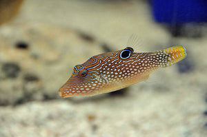 "Blue Spotted Puffer ""Canthigaster solandri"""